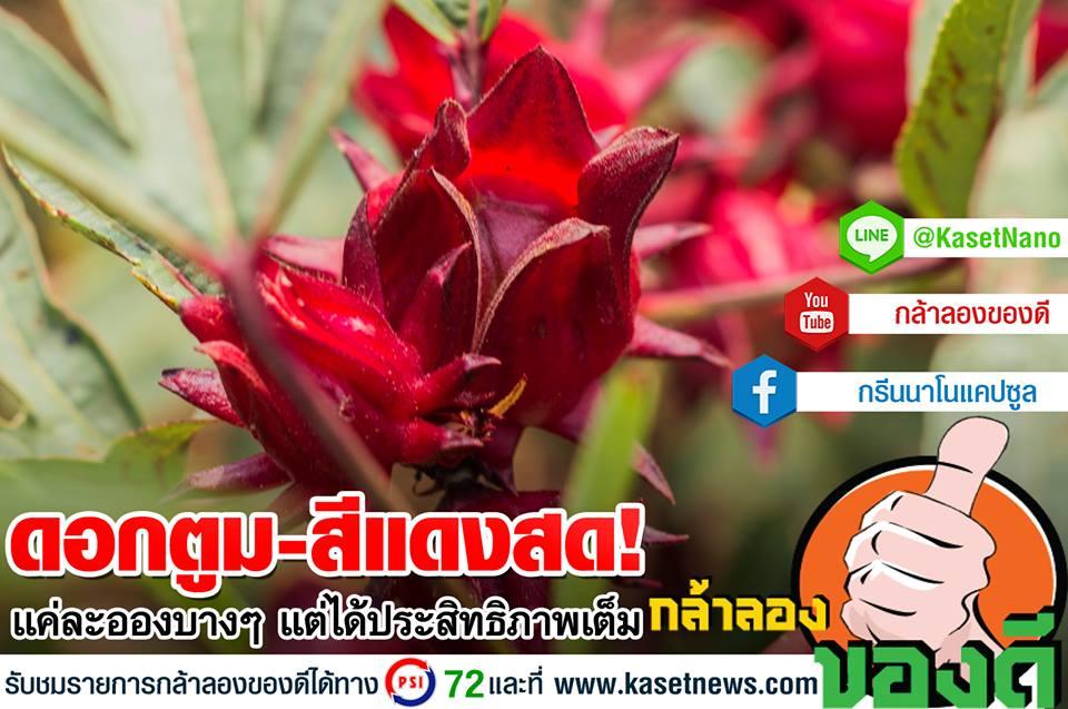 ใช้กรีนนาโนกระเจี๊ยบแดง…ดอกบะเริ่ม แถมน้ำหนักดี