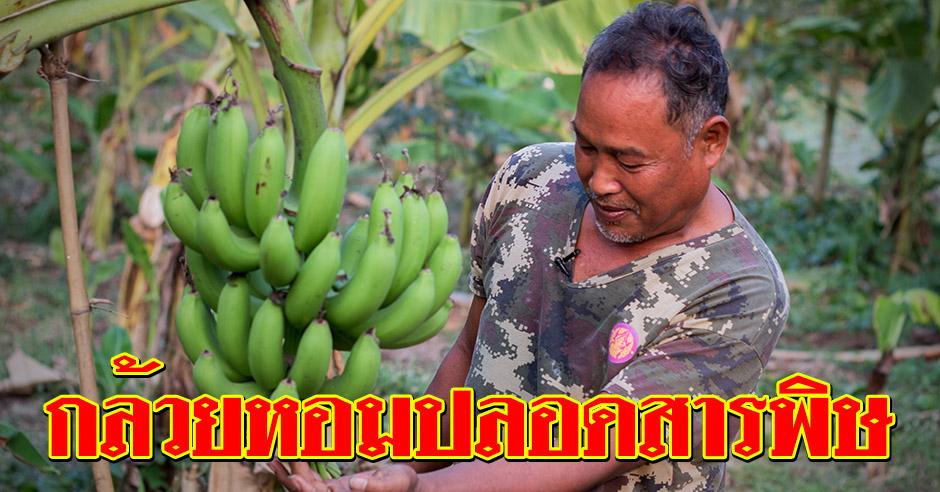 ปลูกกล้วยหอมปลอดสารพิษ แบบฉบับเกษตรอินทรีย์ที่ทำเองได้ที่บ้าน